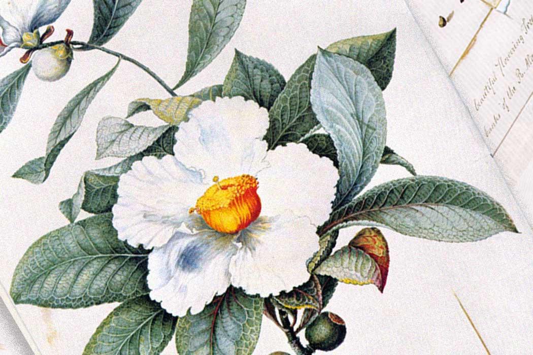 Franklinia tree